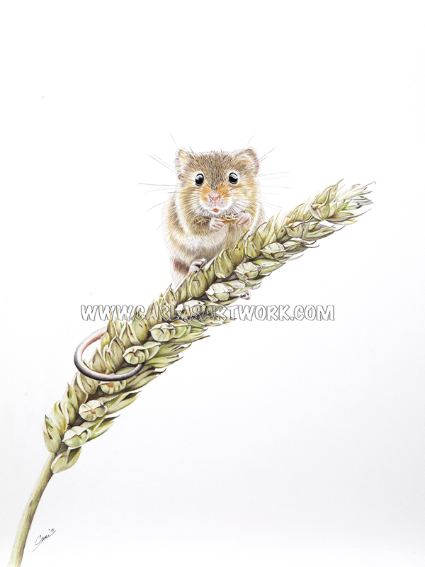 Nibbling Harvest mouse